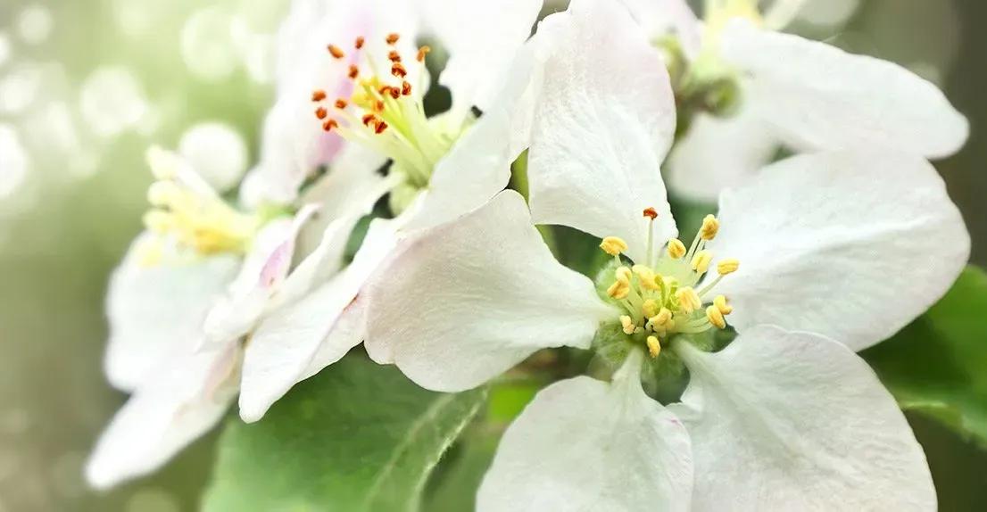 white-flowers-bloom-spring-1920w-1920w